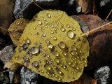 Droplets of Water on a Fallen Aspen Leaf in Autumn Hues