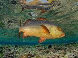 Red Snapper in Kingman Reef