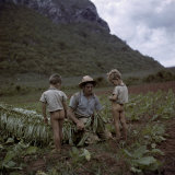Boys Watch their Father Cut and Tie Tobacco Leaves in a Field
