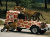 Tigers around and Atop a Jeep at a Zoological Park Near Seoul