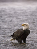 Bald Eagle Stands in Chilkat River  Alaska