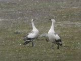 Pair of Upland  Magellan Geese Fighting in a Snow Storm
