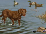 Chesapeake Bay Retriever Wades in Water to Retrieve a Dead Duck