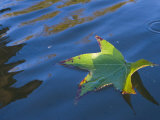 Green Sweet Gum Leaf Floating on Water  Liquidambar Styraciflua