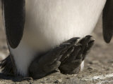 Detail of a King Penguin's Feet
