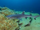 Whitetip Shark in Kingman Reef