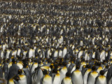 Thousands of King Penguins at a Rookery