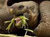 Captive Galapagos Giant Tortoise  Geochelone Nigra  Eating