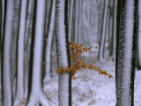 Browned Leaves Hanging onto a Snow-Dusted Tree in a Wintry Forest