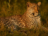 Leopard  Panthera Pardus  Resting in Golden Sunlight
