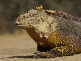 Portrait of a Galapagos Land Iguana  Conolophus Subcristatus