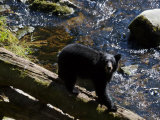 Black Bear Feeding on Salmon in the Tongass National Forest