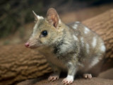 Tiger Quoll Stands in Alert Stance in Adelaide Zoo