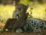 Leopard (Panthera Pardus) Licks a Young Cub