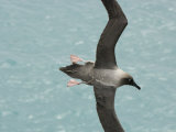 Light-Mantled Sooty Albatross in Flight