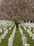 Cherry Tree Blooms in Arlington National Cemetery