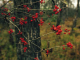 Red Service Berries on Leafless Twigs in an Autumn Forest