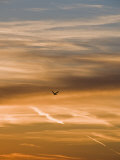 Silhouetted Pelican Flies Toward Sunset
