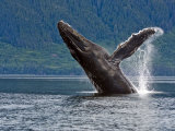 Humpback Whale Exhibiting Breaching Behavior