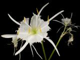 Rare Rocky Shoals Spider Lily