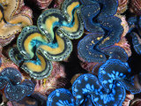 Mantles of Giant Clams in Kingman Reef