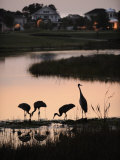 Sandhill Cranes Feed in One of the Neighborhoods of Harmony  Florida