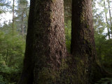 Forest of Uncut Old Growth Spruce  Hemlock and Cedar Trees