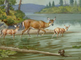 Doe and Her Fawns Walk Cautiously into the Water