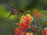 Little Hermit Hummingbird Drinking from a Flower
