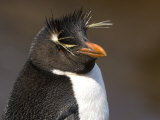 Portrait of a Rockhopper Penguin