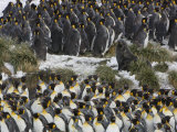 Southern Fur Seal Among King Penguins