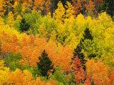 Quaking Aspen and Ponderosa Pine Trees Display Fall Colors