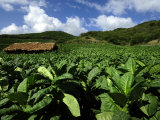 Fields of Tobacco at a Plantation Outside Santo Domingo