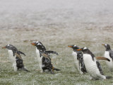 Gentoo Penguins Walking Through a Snow Storm
