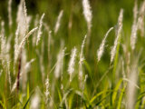 Pennisetum Grasses Spread by Rhizomes or Stolons to Form Clumps