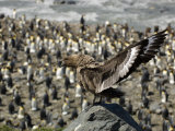 Skua Perched on a Rock Above a King Penguin Rookery