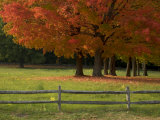 Sugar Maple Trees in a Fenced in Field