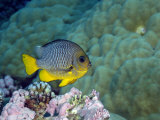 Reef Fish Swimming over Coral in Kingman Reef