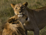 Male and Female African Lions  Panthera Leo  Nuzzling