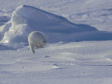 White Arctic Fox (Alopex Lagopus) Jumps on a Ringed Seal Pup Den