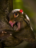 Flying Lemur in Bako National Park