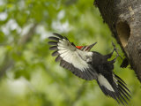 Pileated Woodpeckers are Often Mistaken for Ivory Billed Woodpeckers