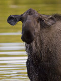 Alaskan Moose: Alces Alces
