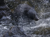 Black Bear Shakes Water Off Head and Feeds on Salmon in Anan Creek