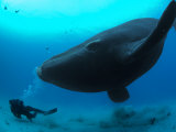 Diver Has a Close Encounter Wih a Southern Right Whale