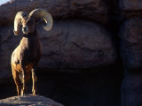 Desert Big Horn Sheep Stepping onto Rock Outcrop