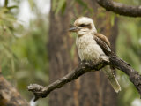 Laughing Kookaburra  Dacelo Novaeguineae  Perched in a Tree