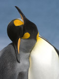Pair of King Penguins Necking and Courting