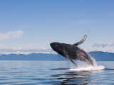Humpback Whale Exhibiting Breaching Behavior