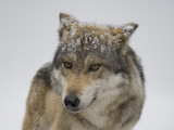 Mexican Gray Wolf at the Wild Canid Survival and Research Center